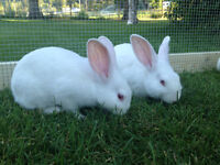 Pet rabbits - White, Grey, Brown, Black