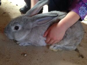 Flemish Giant Cross Rabbits For Sale