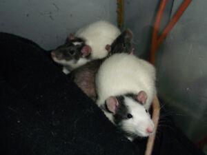 rat domestique animal de compagnie