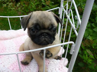 C.K.C . Registered Fawn Pug Puppy .