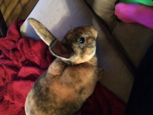 Bunny free to a good home Cambridge Kitchener Area image 3