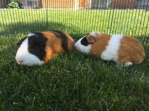 Meet Chunky and Tiger Adorable Guinea Pig Brothers