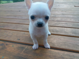 Pedigree Chihuahua puppy with papers