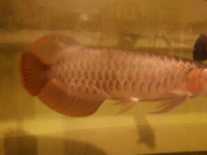 Asian arowana (Violet Fusion super red)