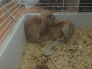 English lops for sale
