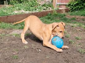 French Mastiff x Puppies