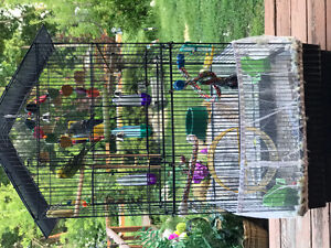 Two male budgies, cage and accessories