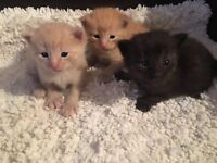 Ragdoll x Maine coon kittens . only 3 males left in champagne cream, red and seal Lynx