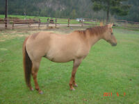 Gorgeous Red Dun QH - In Foal