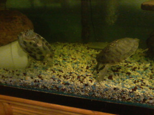 Red eared turtles