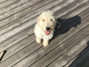 Look for a sweet home for my golden doodle puppy