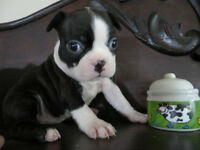 boston terrier mignature