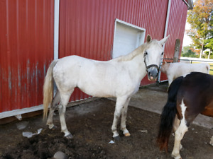 13 Hand Registered half Welsh pony mare