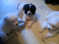 Great Pyrenees Newfoundland cross puppies for sale