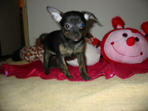 2  Chihuahua Puppies First Shots VET HEALTH EXAM Record Dewormed