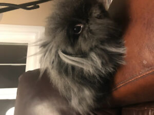 Two royal double mane lion head bunnies