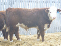 Polled Herford Yearling Bulls