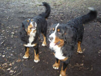 Registered Bernese Mountain Puppies