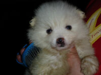 ONE MALE TOY  AMERICAN ESKIMO PUPPY( NON ALLERGENIC)