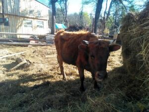 dexter cow and bull for sale