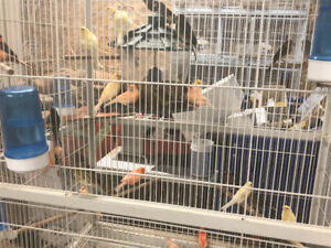 I have 10 female canary for sale