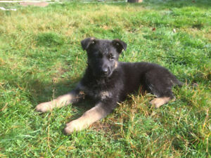 German Shepherd puppies ready to rehome