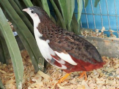 12 Fancy Button Quail Hatching Eggs - Smallest Quail Species In The World