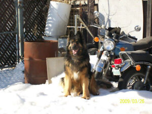 WANTED Large Big  Dark Coloured Dog Shepard Rotti Lab or other