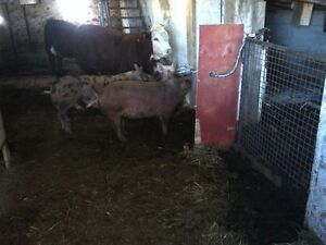 heritage weaner pigs, pigglets, sows, boar, and pigs $50+ Kitchener / Waterloo Kitchener Area image 9