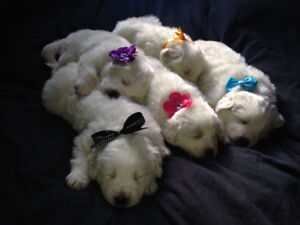 """""""Great Pyreenes\ Maremma Puppies to sell 800$ each"""