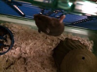 Free Dwarf Hamster with cage, wheel, ball, food and bedding