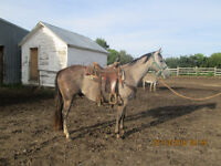 Registered quarter horse gelding