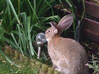Giant Flemish rabbit female 5mths