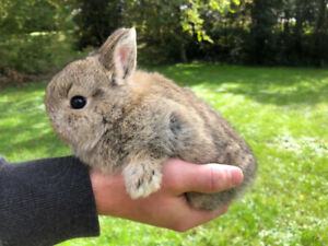 Bunny Rabbits - Netherland dwarf, smallest breed for housepets