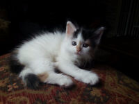 Gorgeous Persian/Maine Coon x Kittens