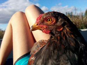 young roosters  americauna brahma mix