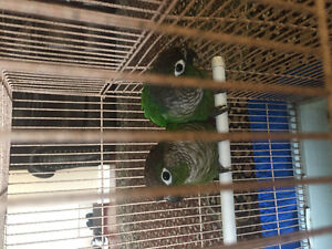 2 Green Cheek Conures With Cage