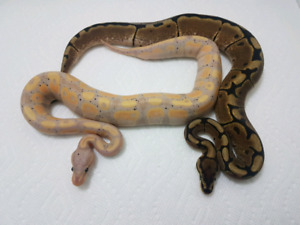 DISCOUNTED!- Banana Pied Project (Pairs)- 2018 Ball Pythons