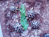 Tortoises for sale ~ Arachnophiliacs