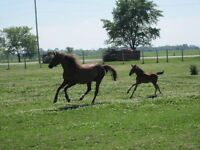 Section B Welsh Mare and filly