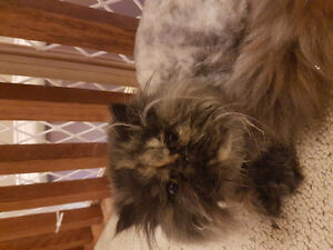 SPAYED Torti Female Persian Kitten