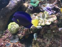 "🐠🐠. 3-4 "" Purple tang reef safe marine fish for salt water fish tank aquarium"