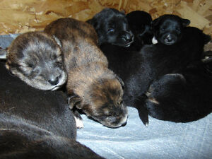 Lab German sheppard Puppies for sale