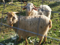 Goat Billies Males