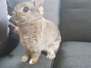Dwarf doe bunny rabbit
