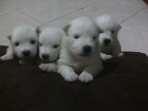 SAMOYED puppies     4 MALES LEFT