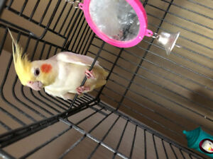 Female Cockatiel and Cage