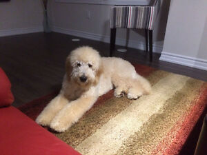 Beautiful F1B Goldendoodle looking for a home