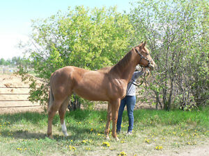 Appendix-Quarter Horse Yearling filly will mature well over 16HH