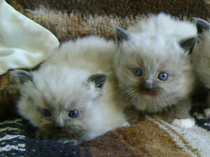 Fluffy Blue-Eyed  Himalayan kittens.Playful friendly.